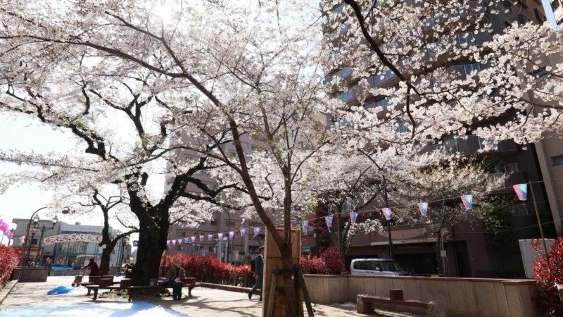 播磨坂 桜