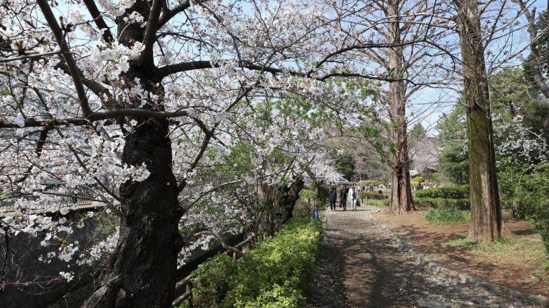 中野区立哲学道公園 桜
